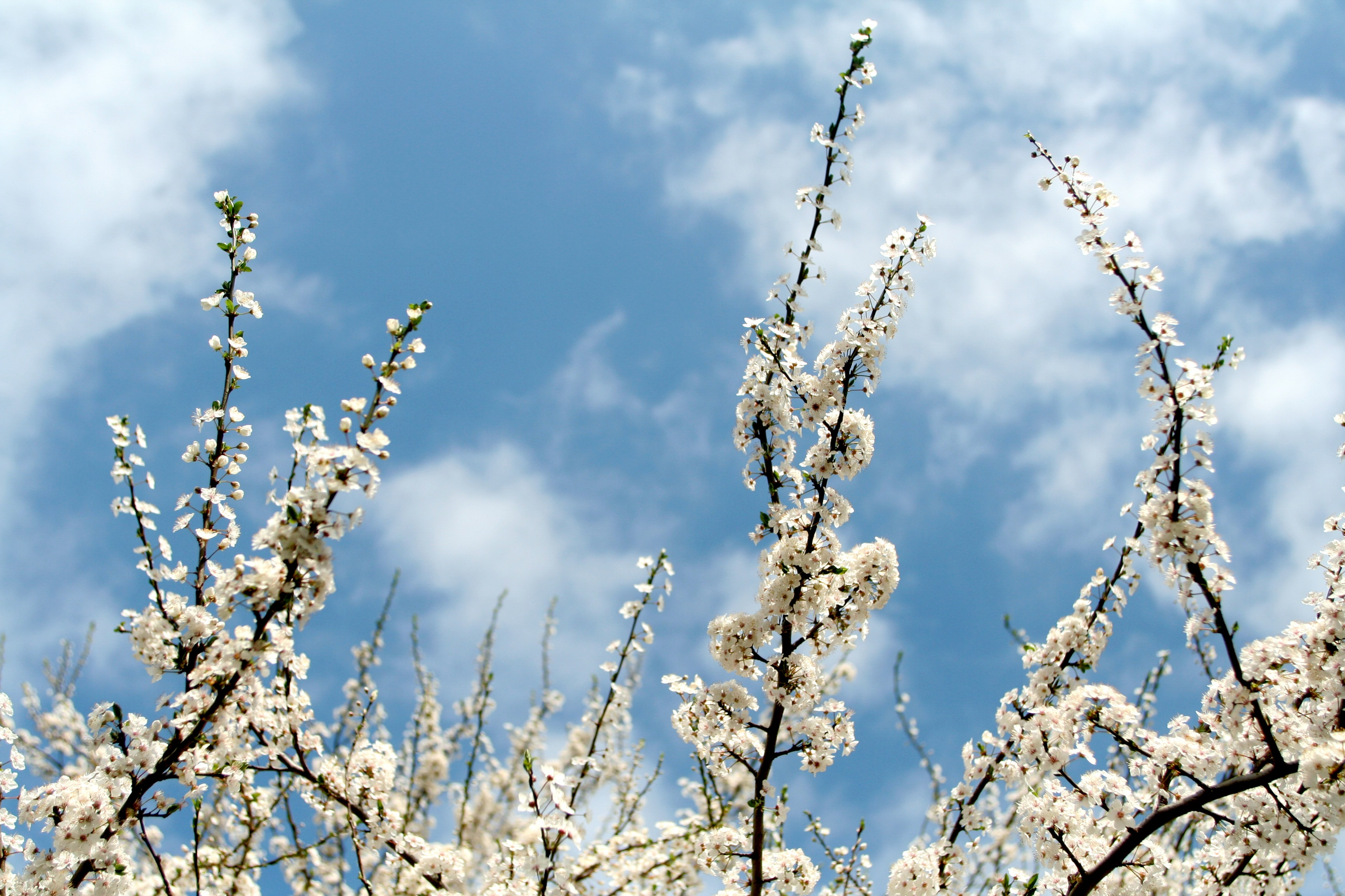 white flowers and white clouds