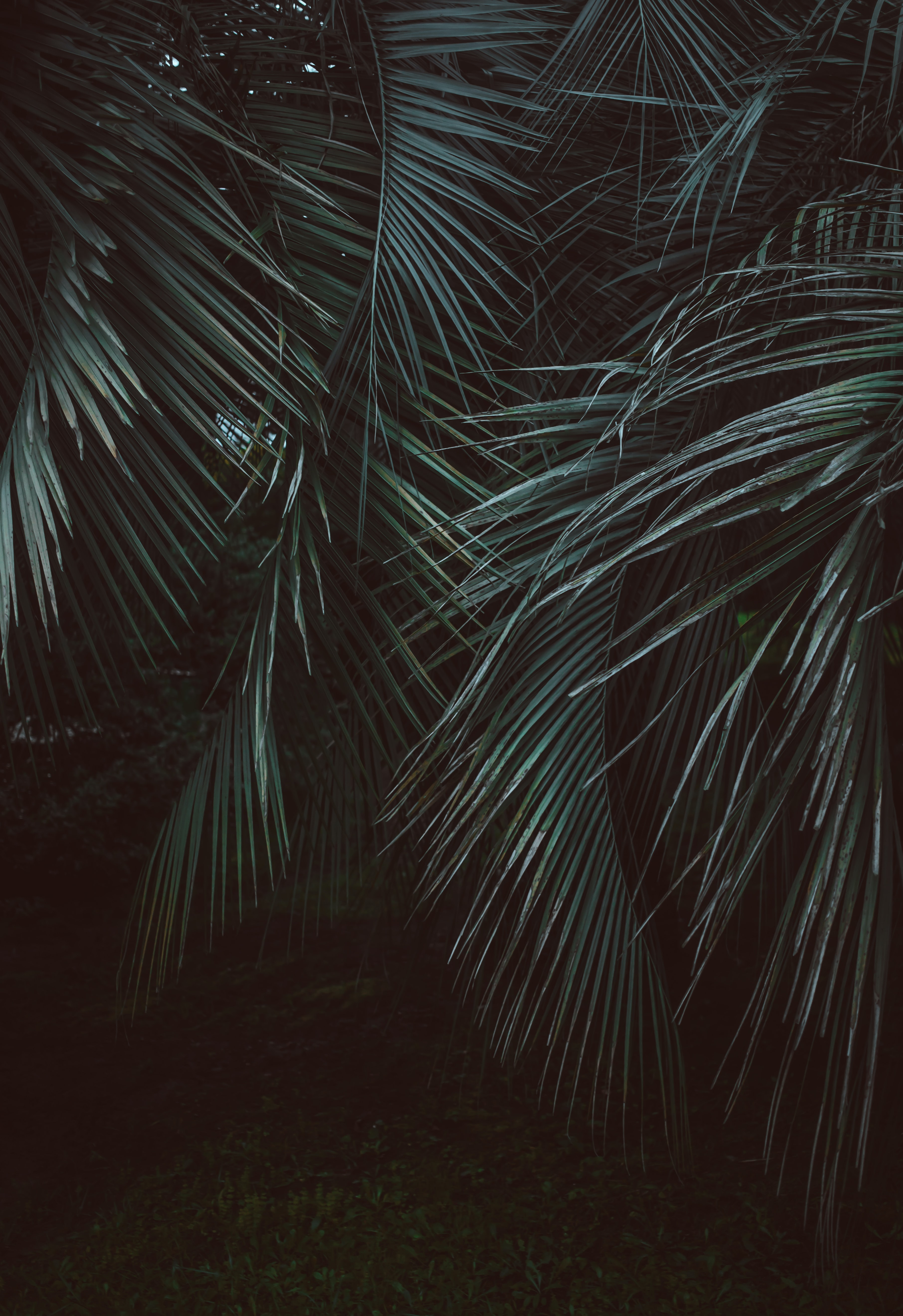 coconut tree leaves photography
