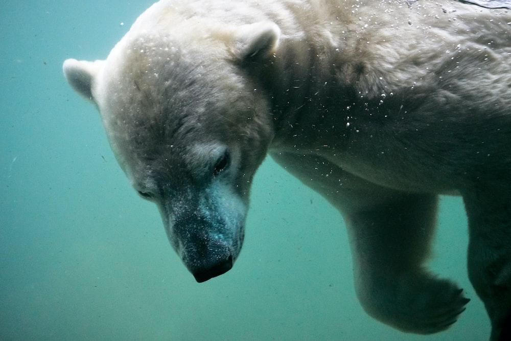white polar bear swimming on body of water