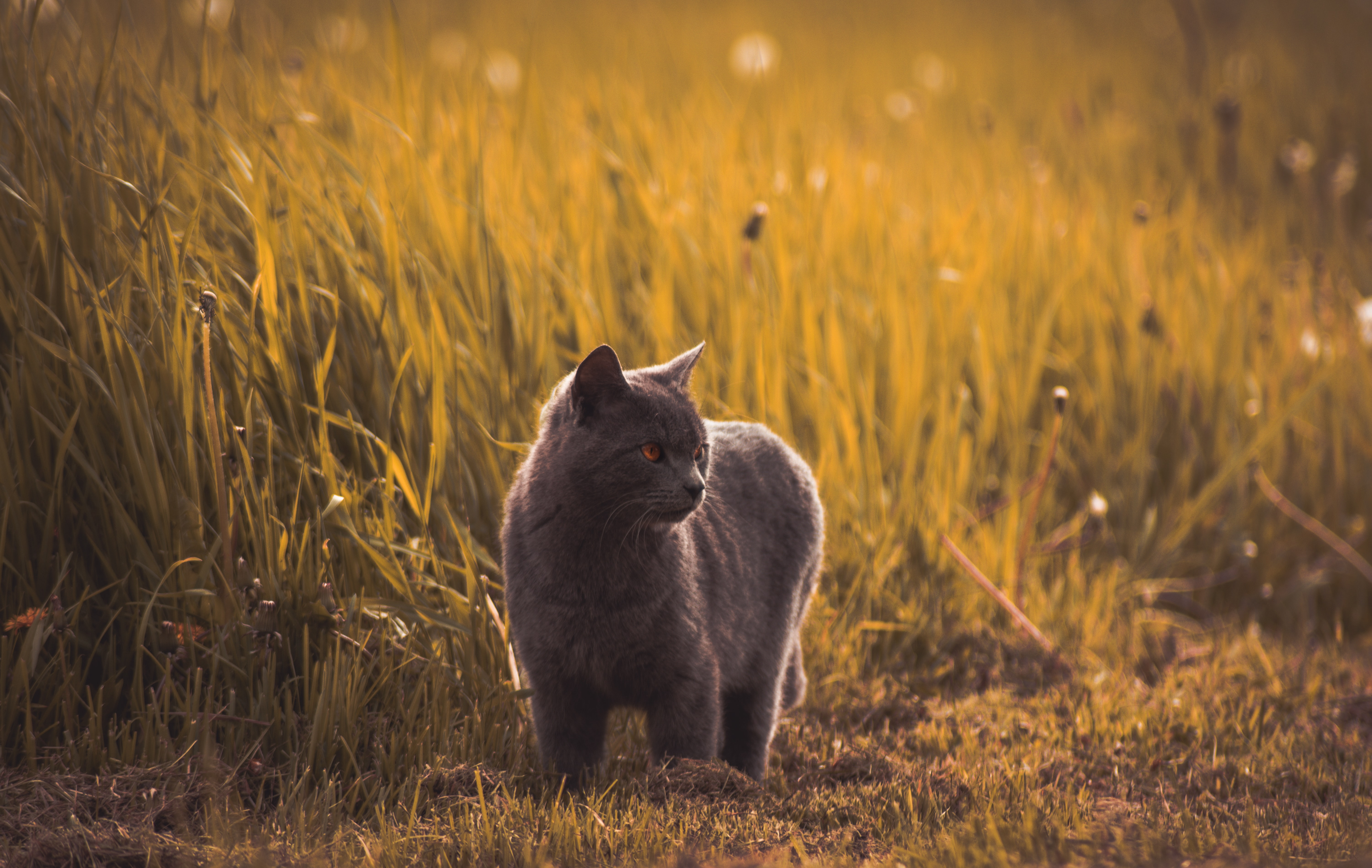 Russian blues standing near green grasses
