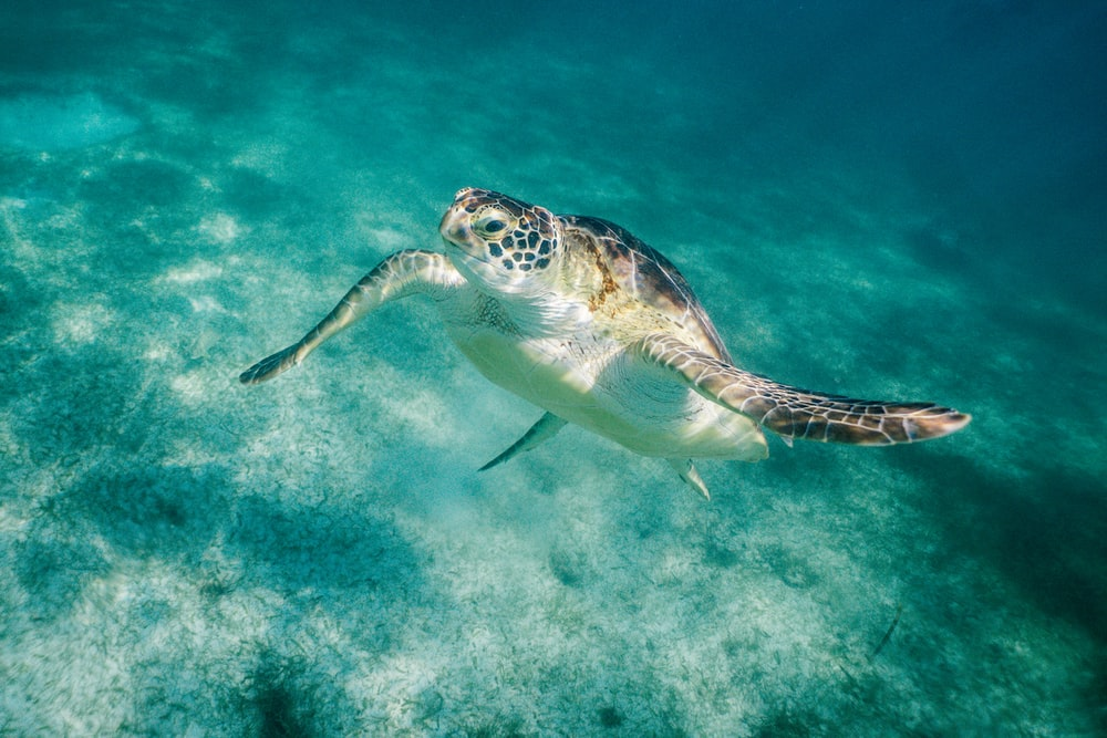 beige and black seaturtle swimming during daytime