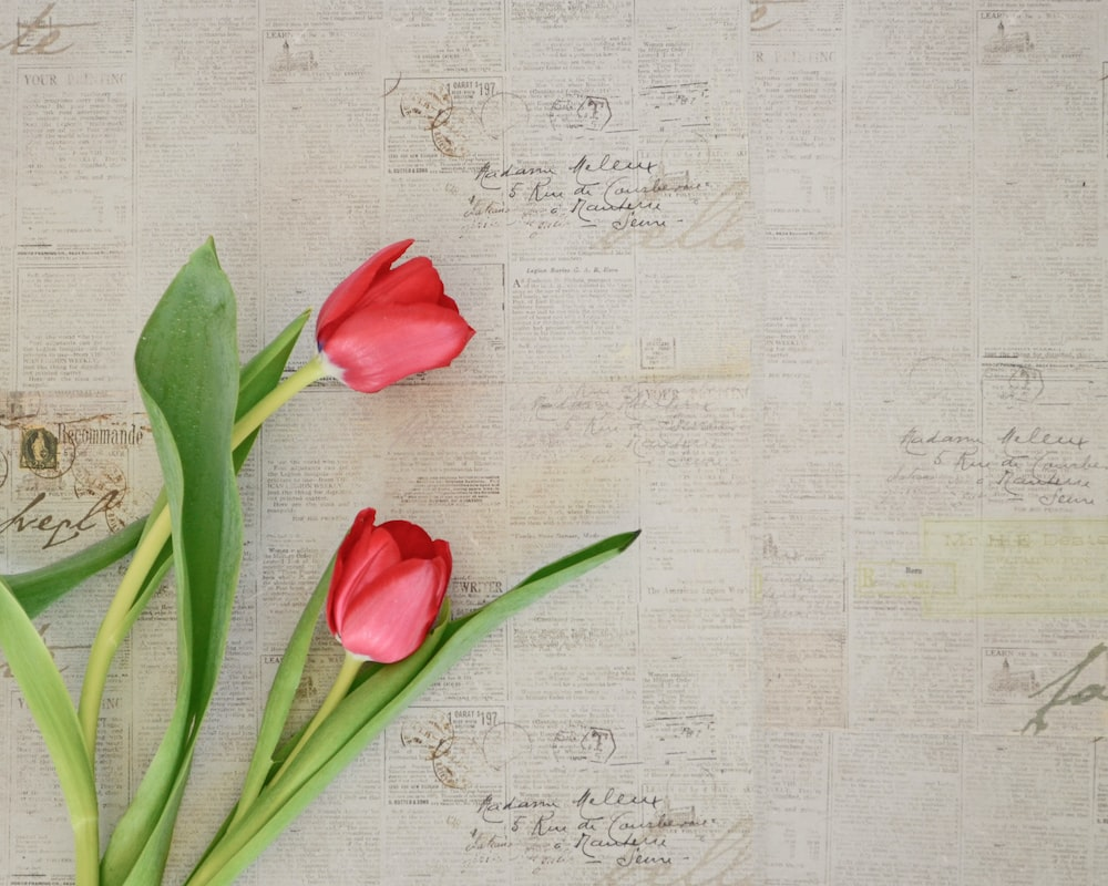 Flower, Tulip, Plant And Blossom