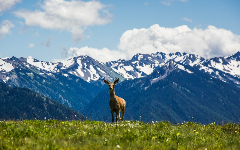 landscape photography of animal standing on green grass near snow mountain