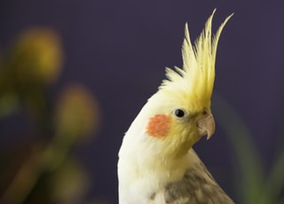 selective focus photography of yellow cockatiel