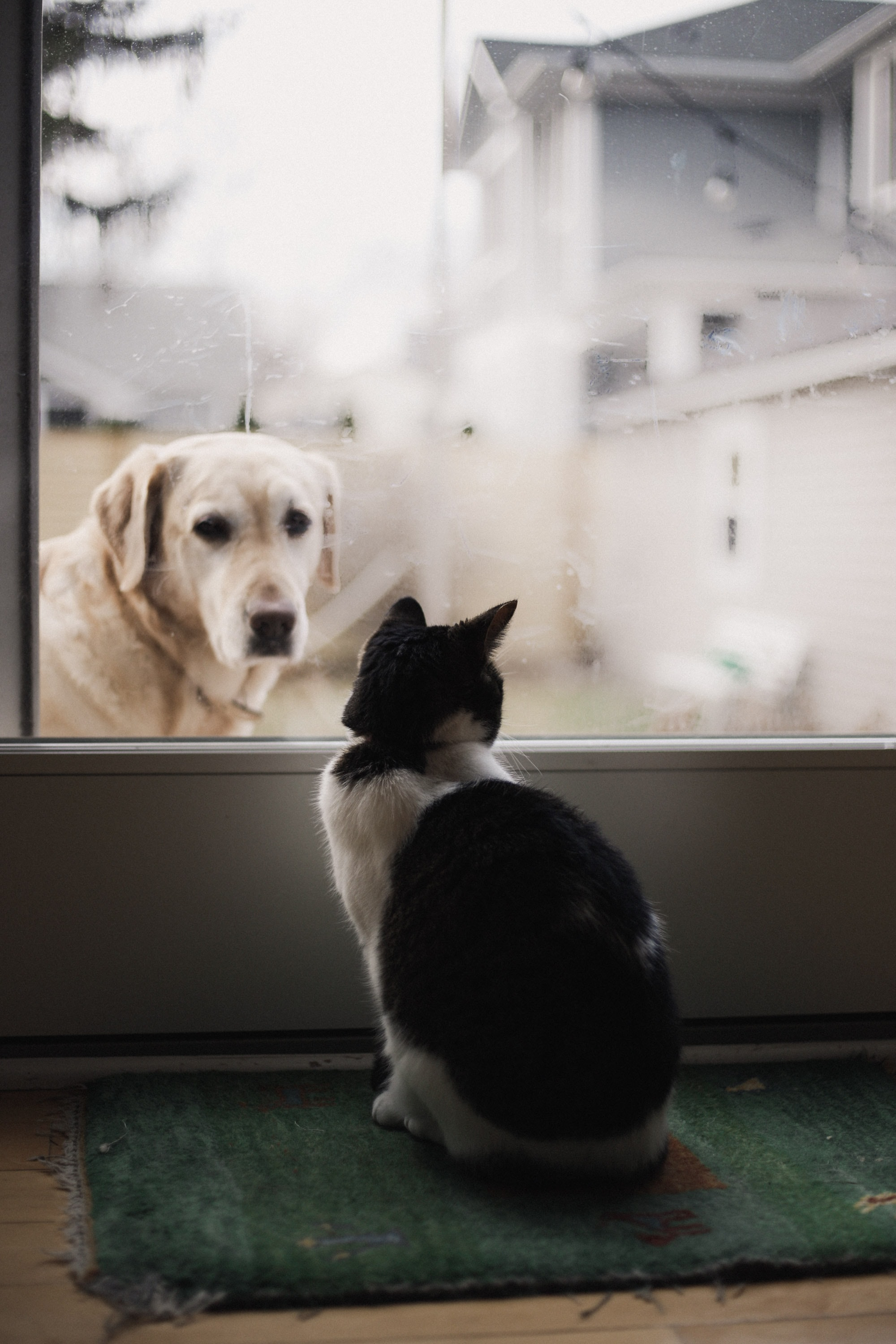 black and white cat watching adult yellow Labrador retriever on window