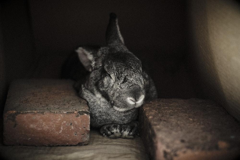 selective focus photography of black rabbit