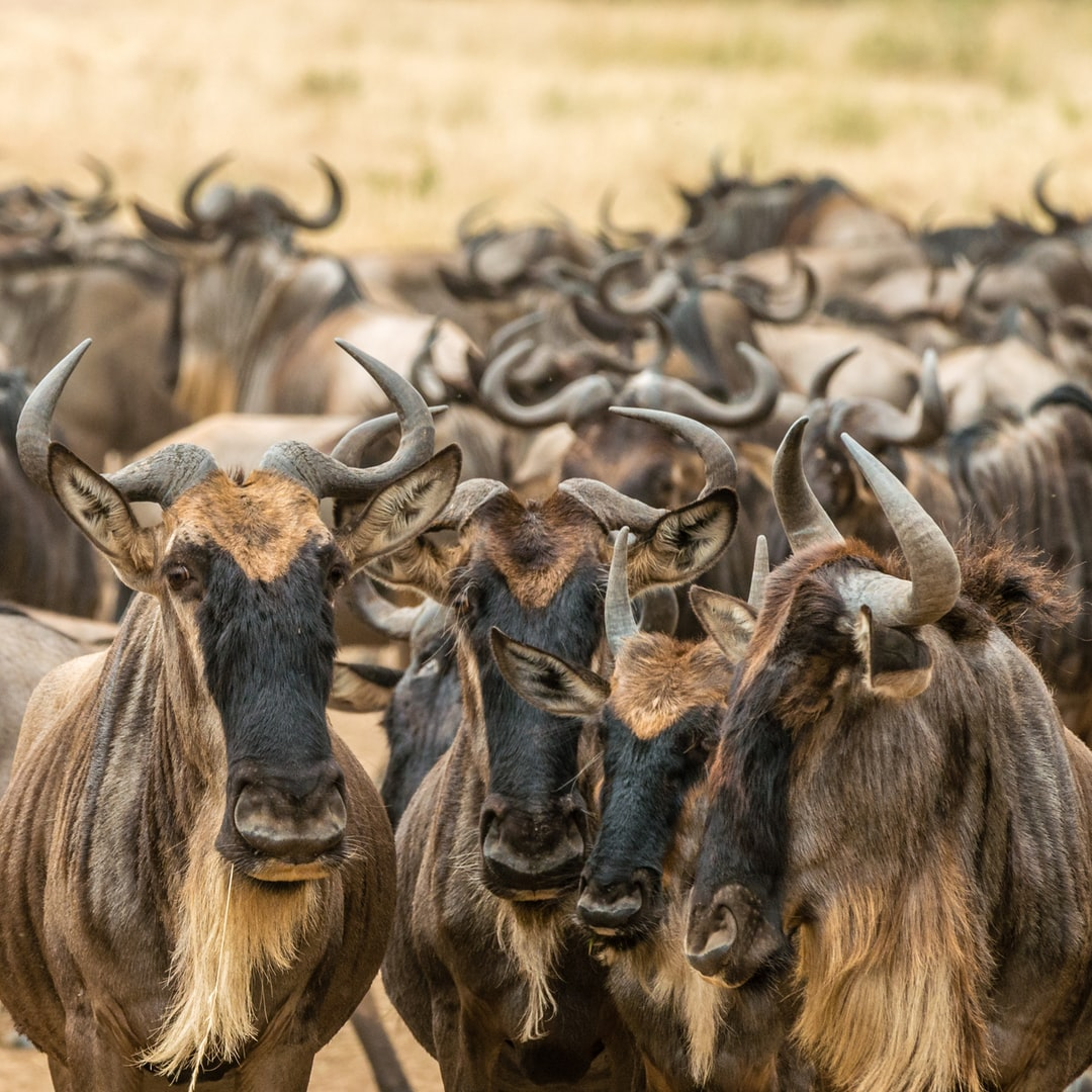 Wildebeest in Maasai Mara…
