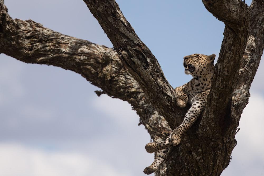 jaguar on tree branch