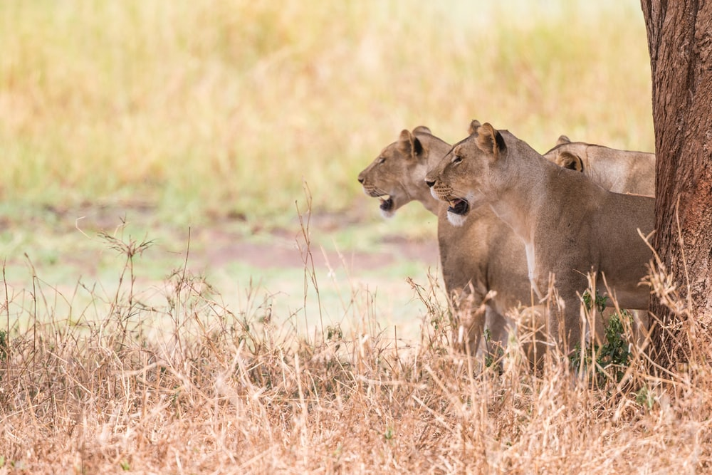 three brown lioness under tree during daytime