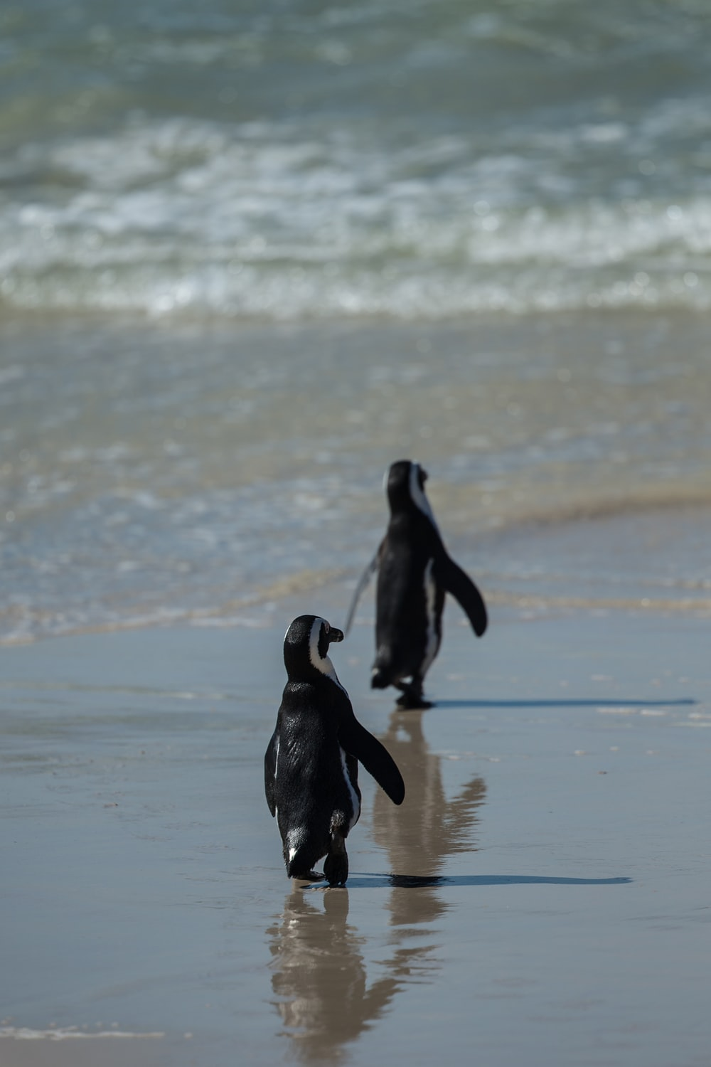 two black and white penguins walking near sea during daytime