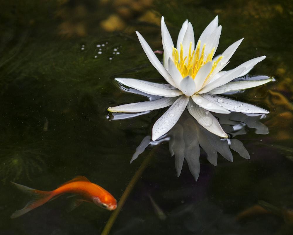 lotus flower on body of water with orange goldfish