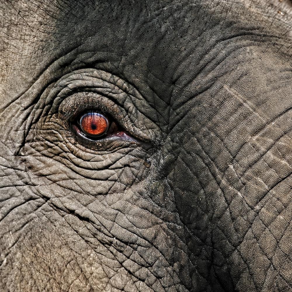 gray elephant eye