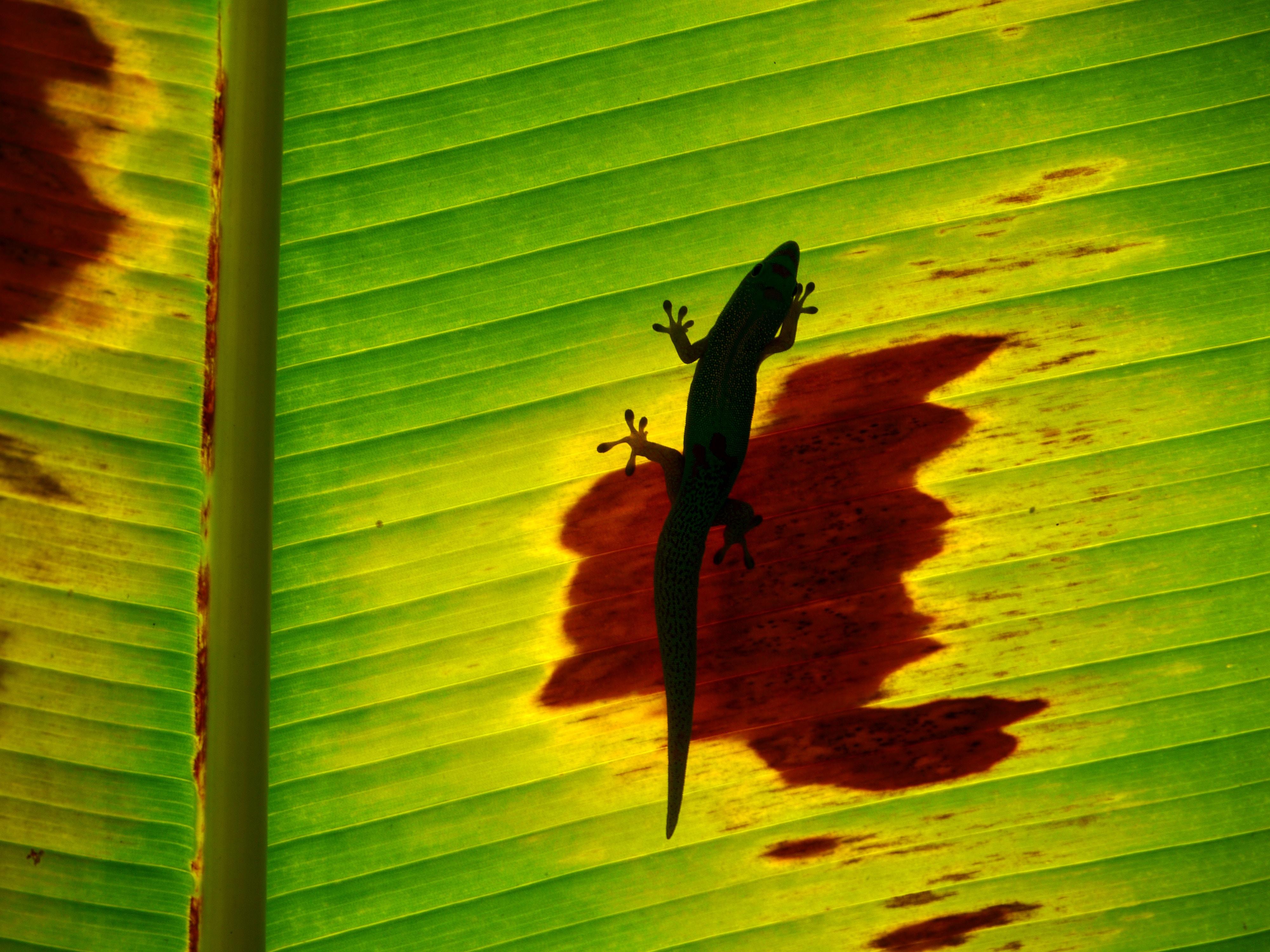 black lizard on banana leaf