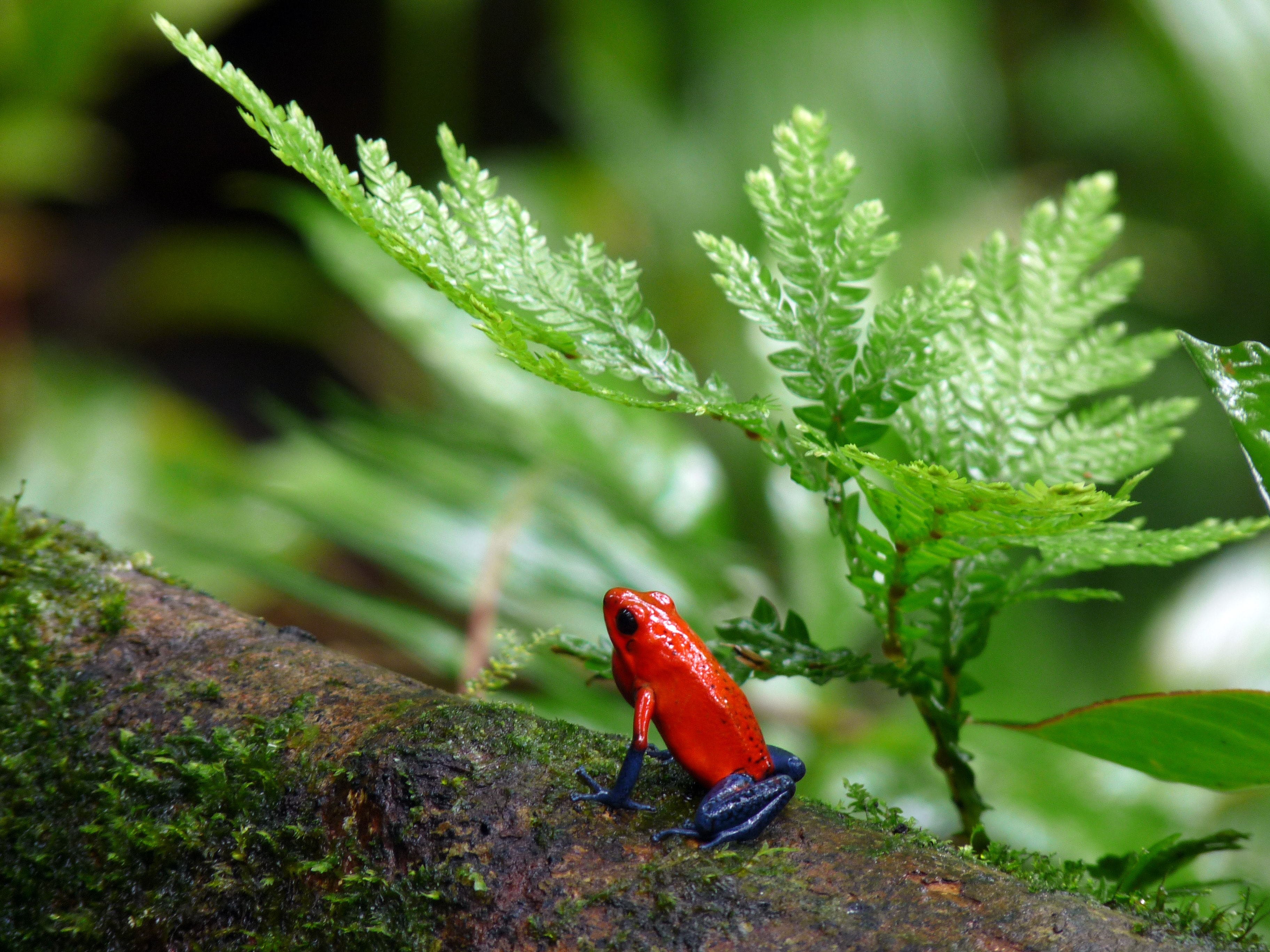 red and blue poison-dart frog on tree branch