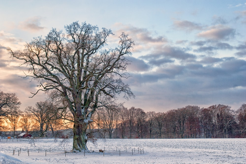 brown tree covered by snows during golden hour