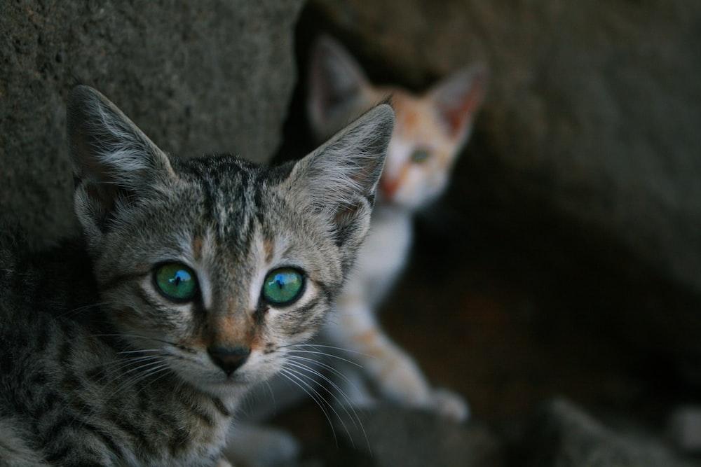 selective focus photo of gray tabby kitten
