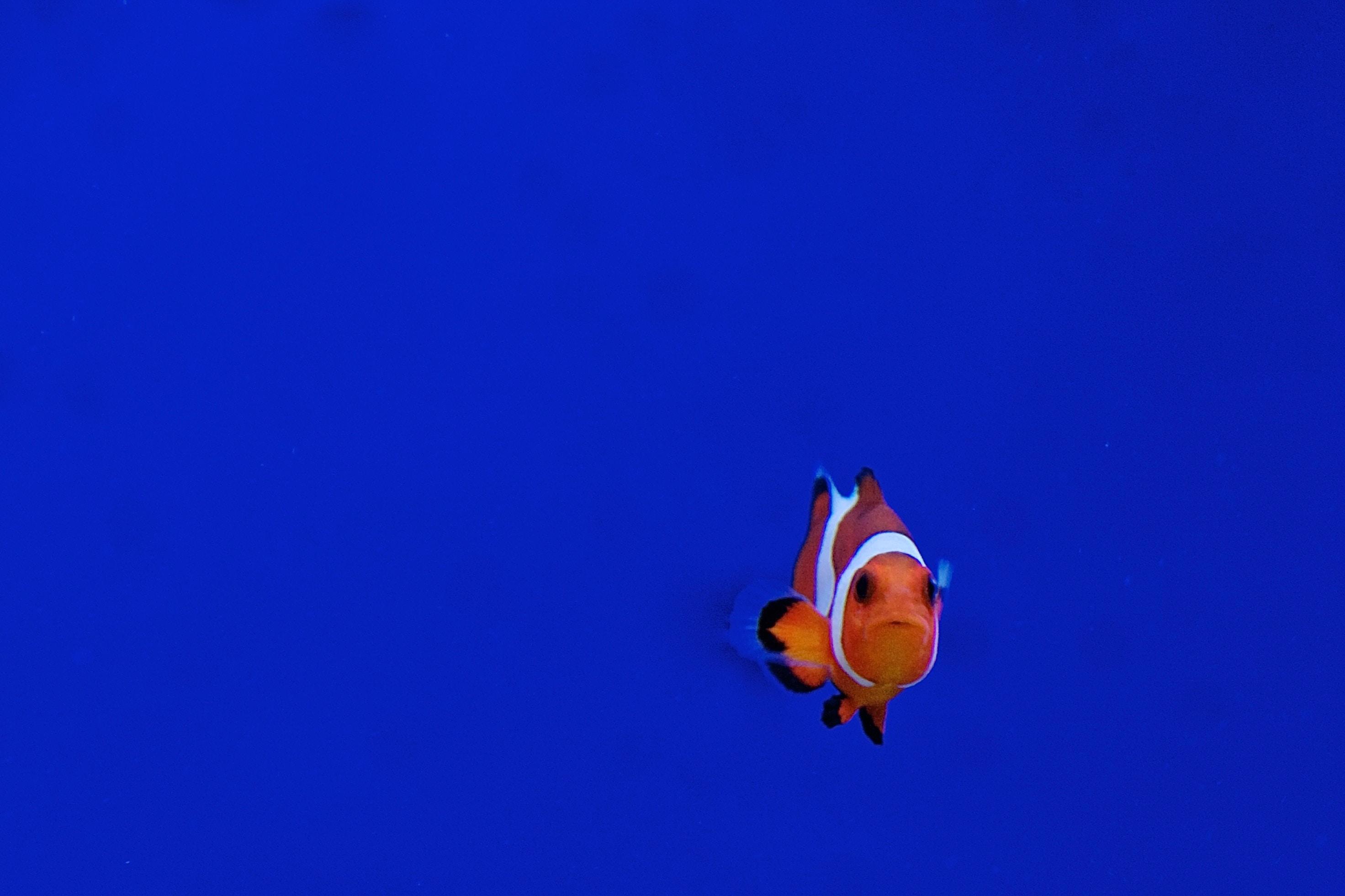 clown fish swimming in water