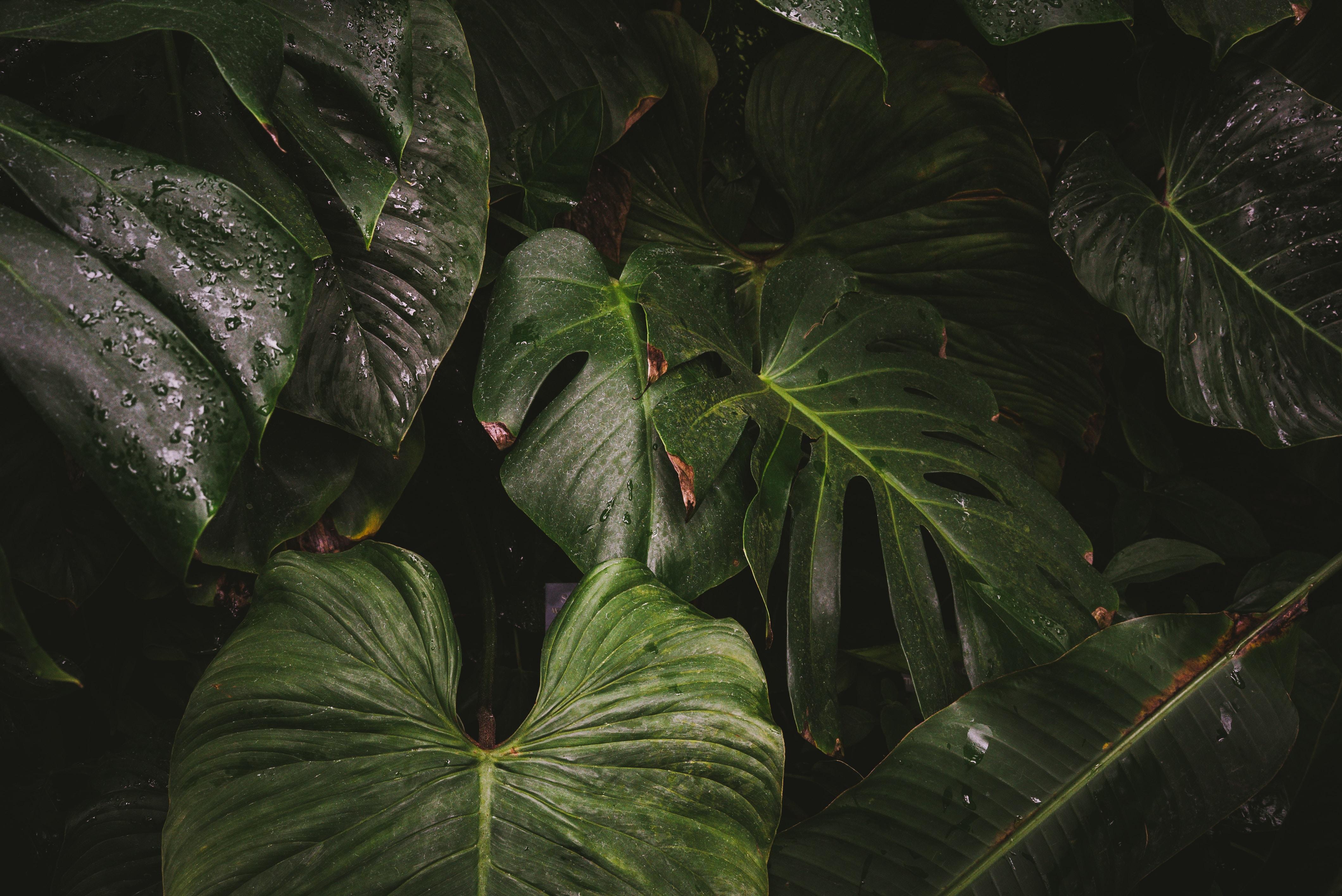 closeup photo of green caladium plant