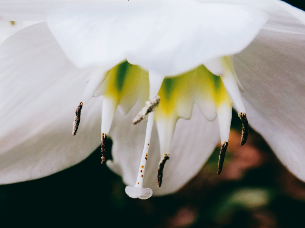 close-up photography of white lily flower