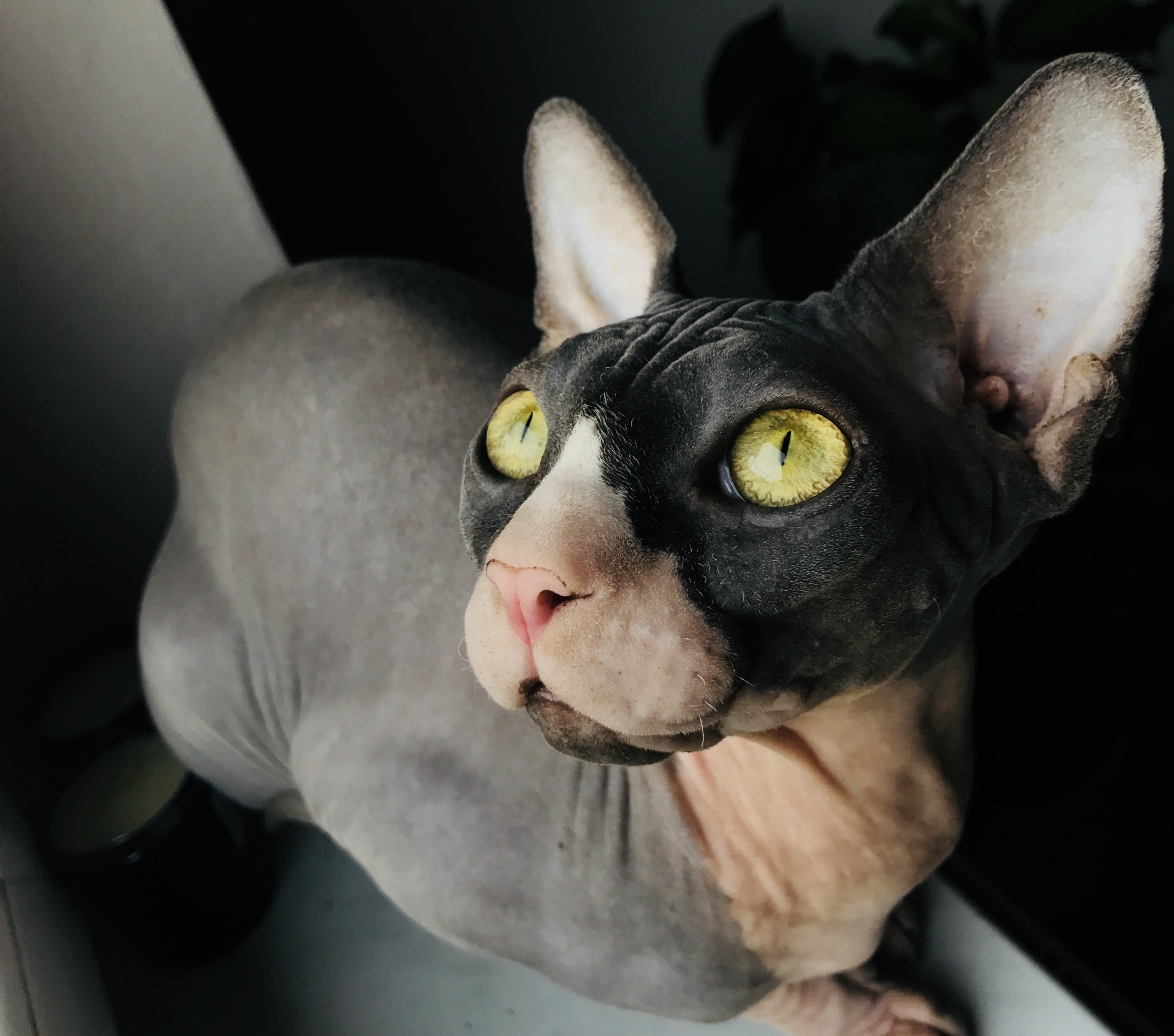 brown and black Sphinx cat