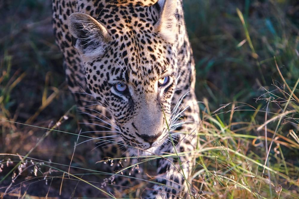 Leopard walking on grass