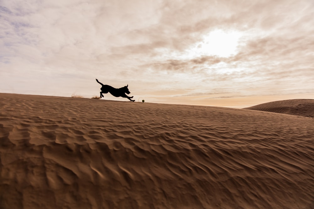 silhouette photography of dog playing on desert