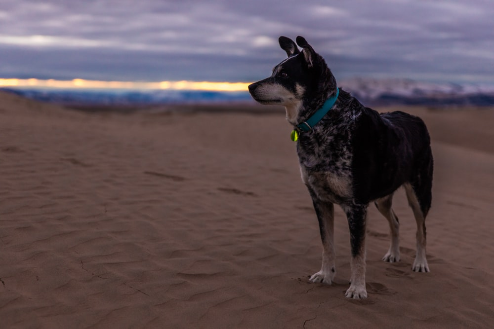 selective focus photo of short-coated black and brown dog on desert under cloudy sky at daytime