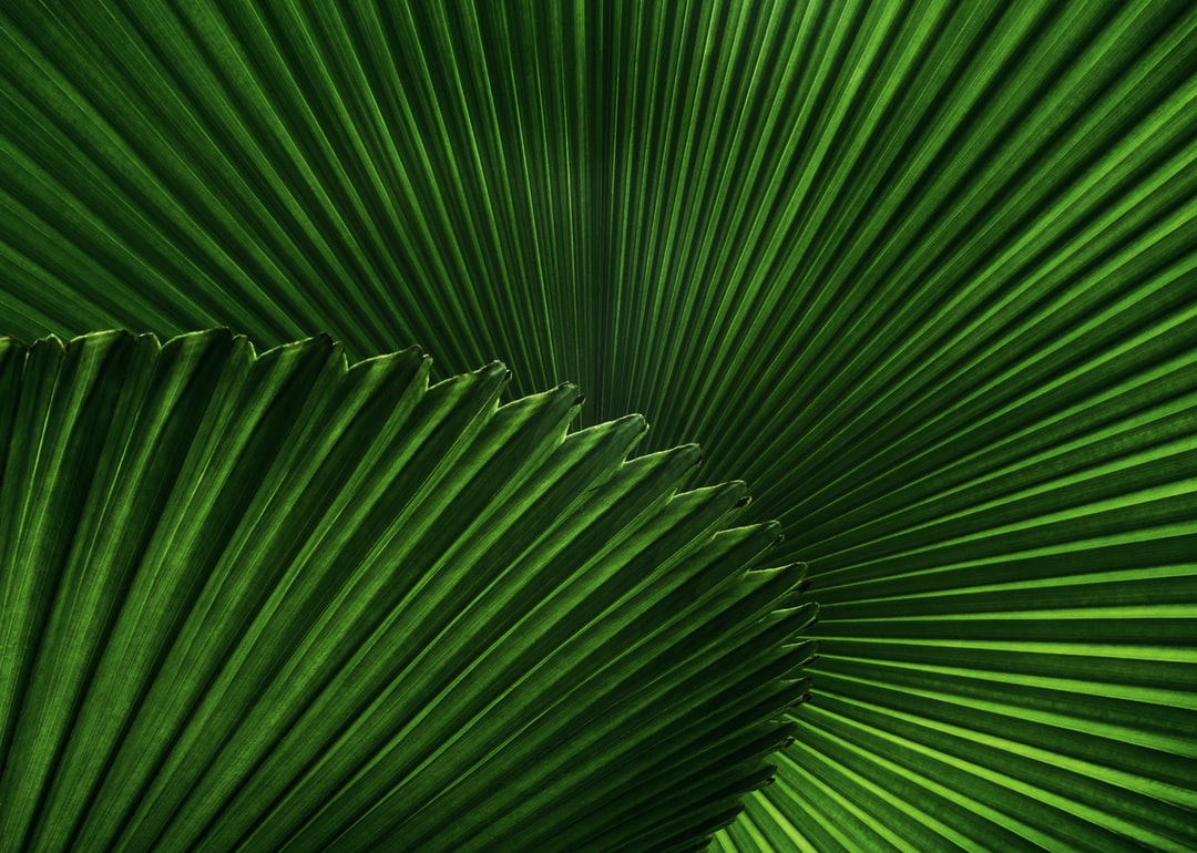 Leaves of the fan palm Licuala cordata, backlit and photographed from underneath. Native to the tropical rain forests of South East Asia, with this photo being taken at the Cairns botanic gardens in Australia.