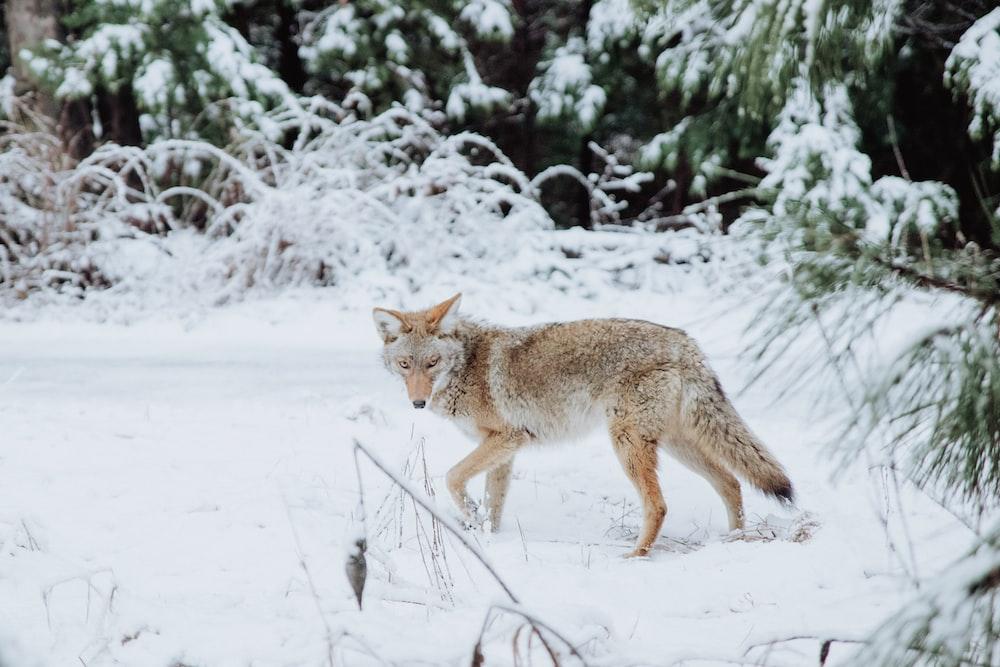 brown wolf walking on snow