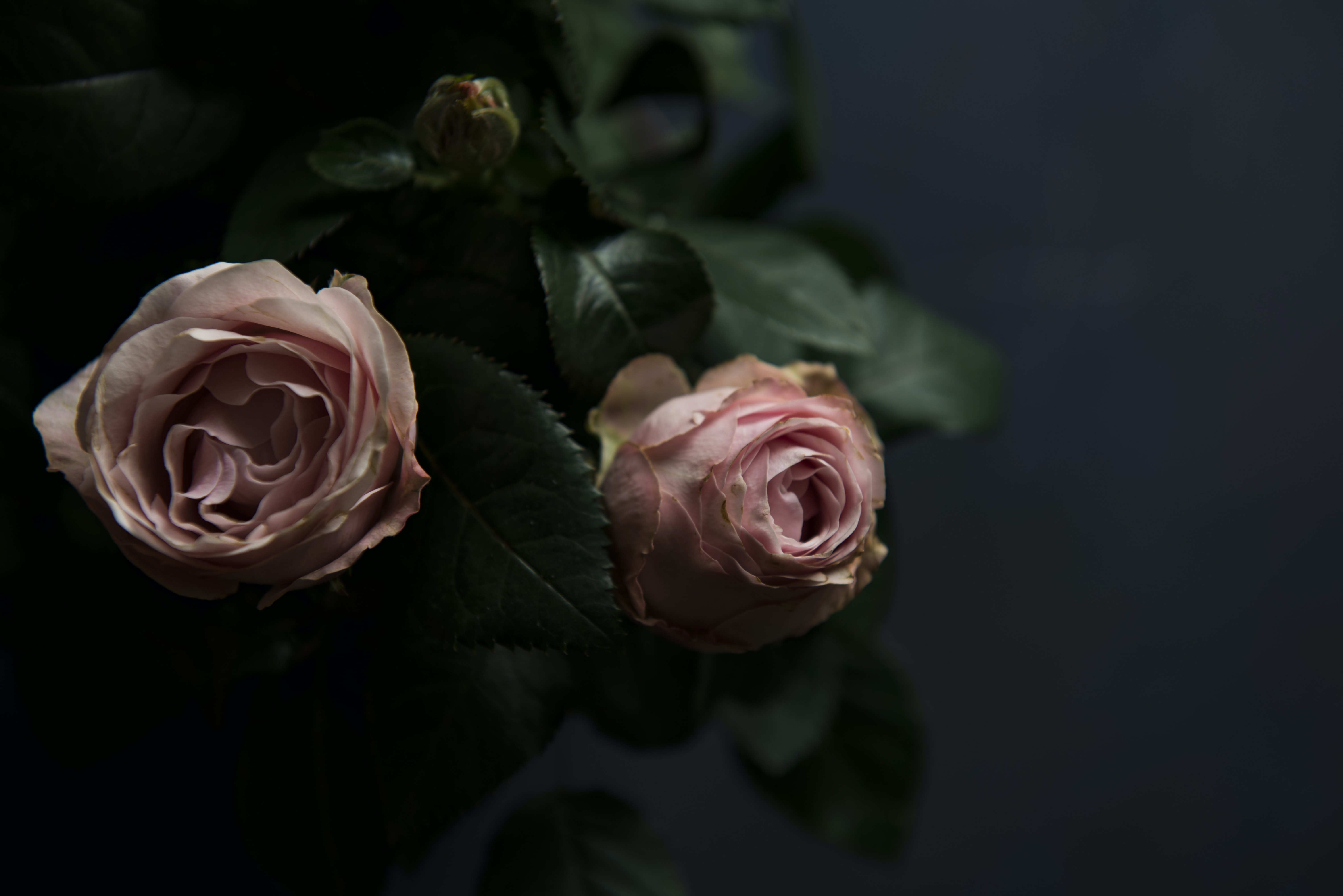 selective focus photo two pink roses