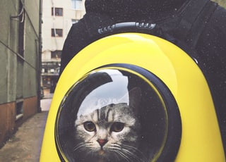 gray tabby cat in yellow and black hand-case backpack