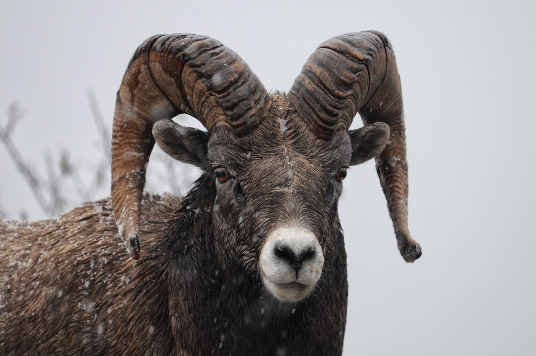 A stone sheep glares at us in Canada's Jasper National Park. His herd crossed the road right in front of our car, hopped the guardrail, and disappeared down into the forest through the wet falling snow.
