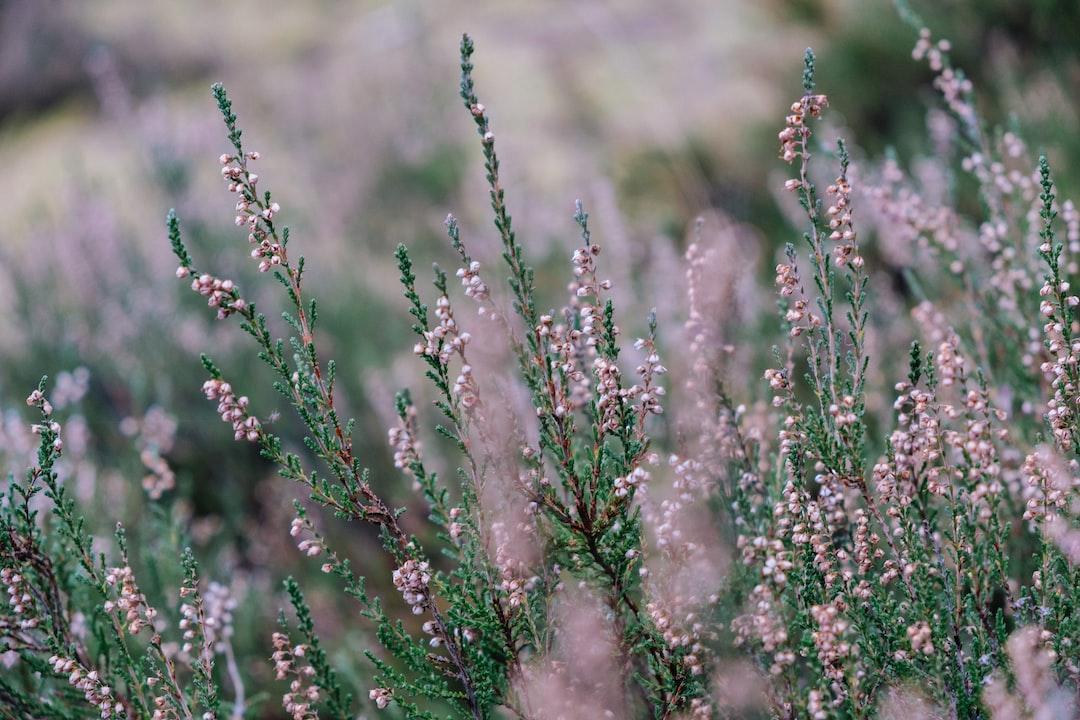 Calluna vulgaris in late december