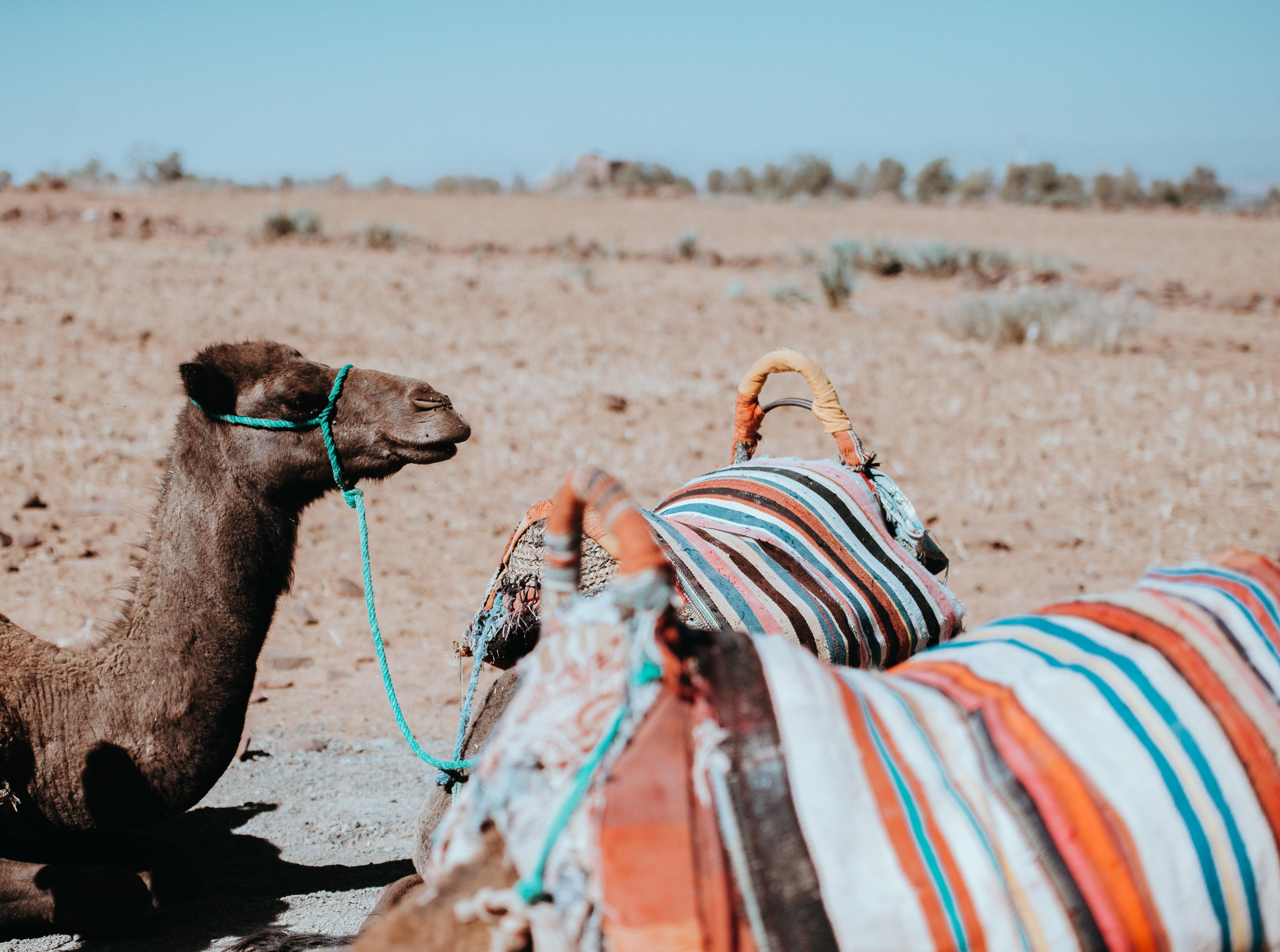 brown camel sitting on desert during daytime