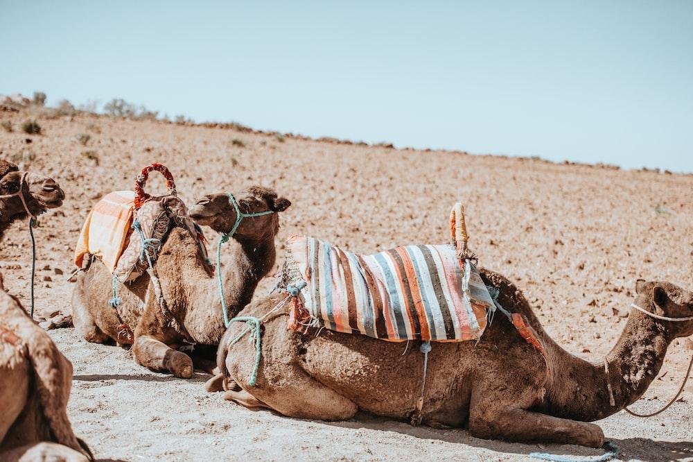 three brown camel on desert field during daytime