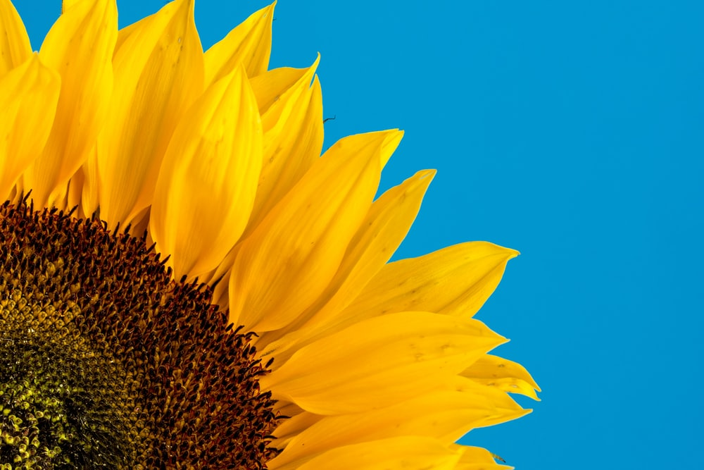 close-up photography of sunflower