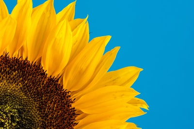 close-up photography of sunflower sunflower zoom background