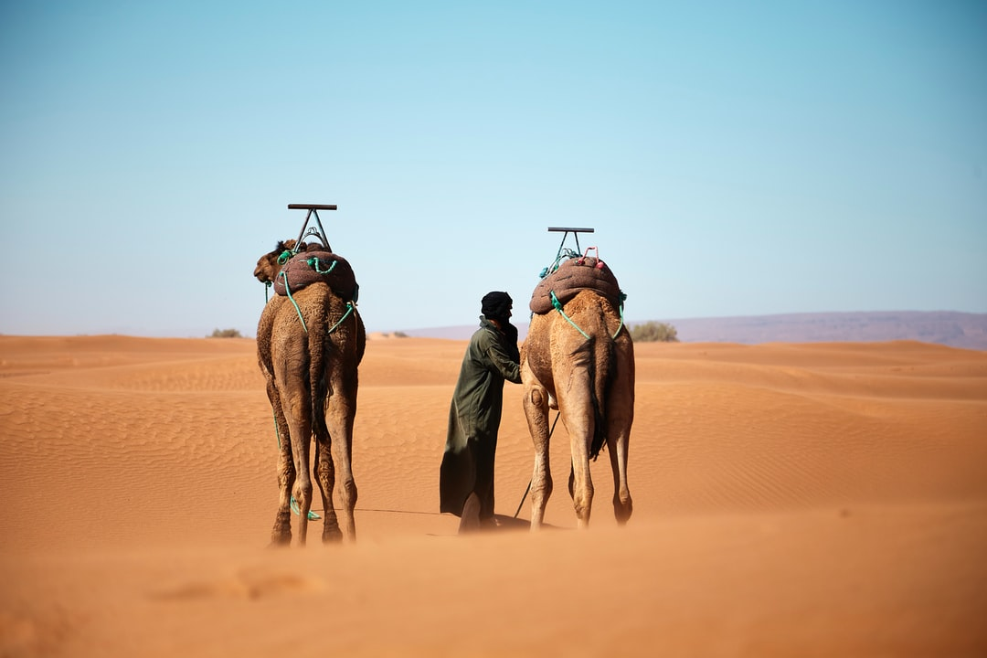 While we stopped our trail for lunch in the moroccan desert, Muhammed is attaching his two camels so that they do not get away while we rest under the shades or rare bushes.