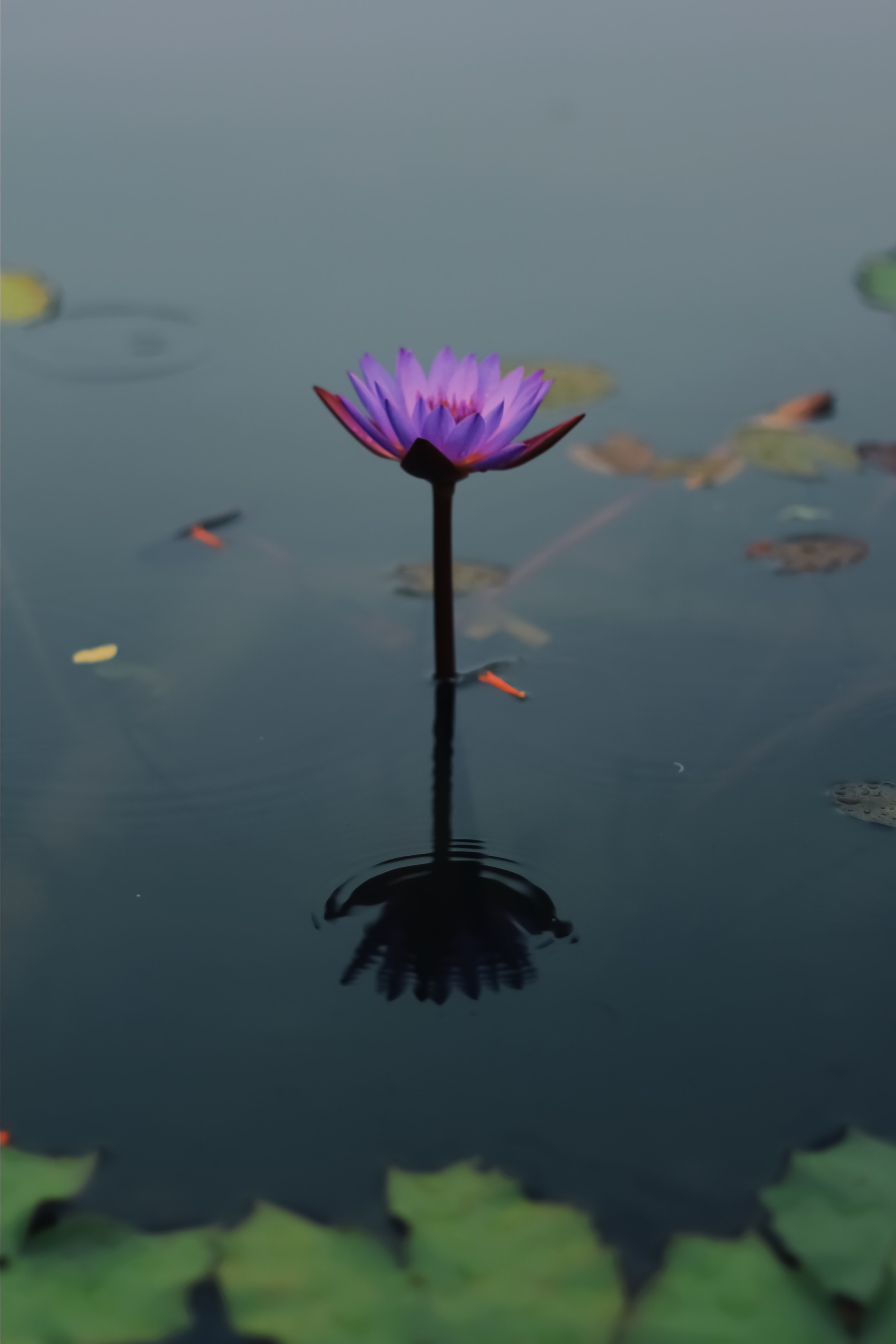 shallow focus photography of purple flower on body of water