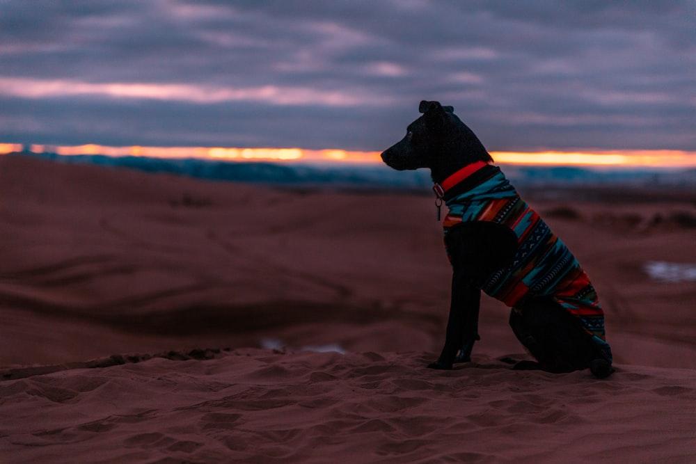black dog sitting on desert