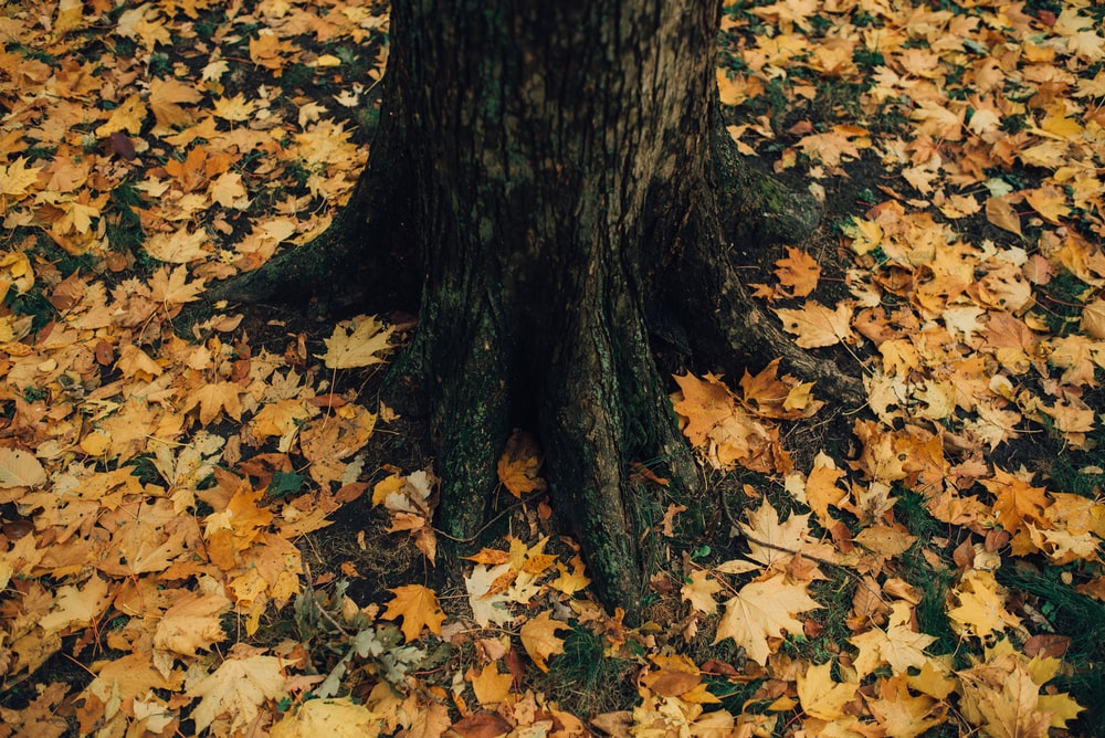 tree trunk surrounded dried maple leaves