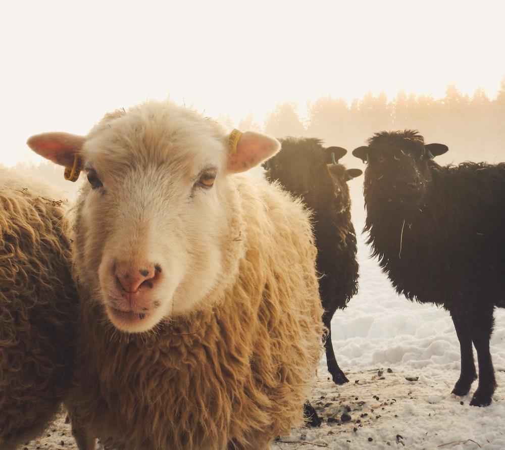 three black and brown sheep at daytime