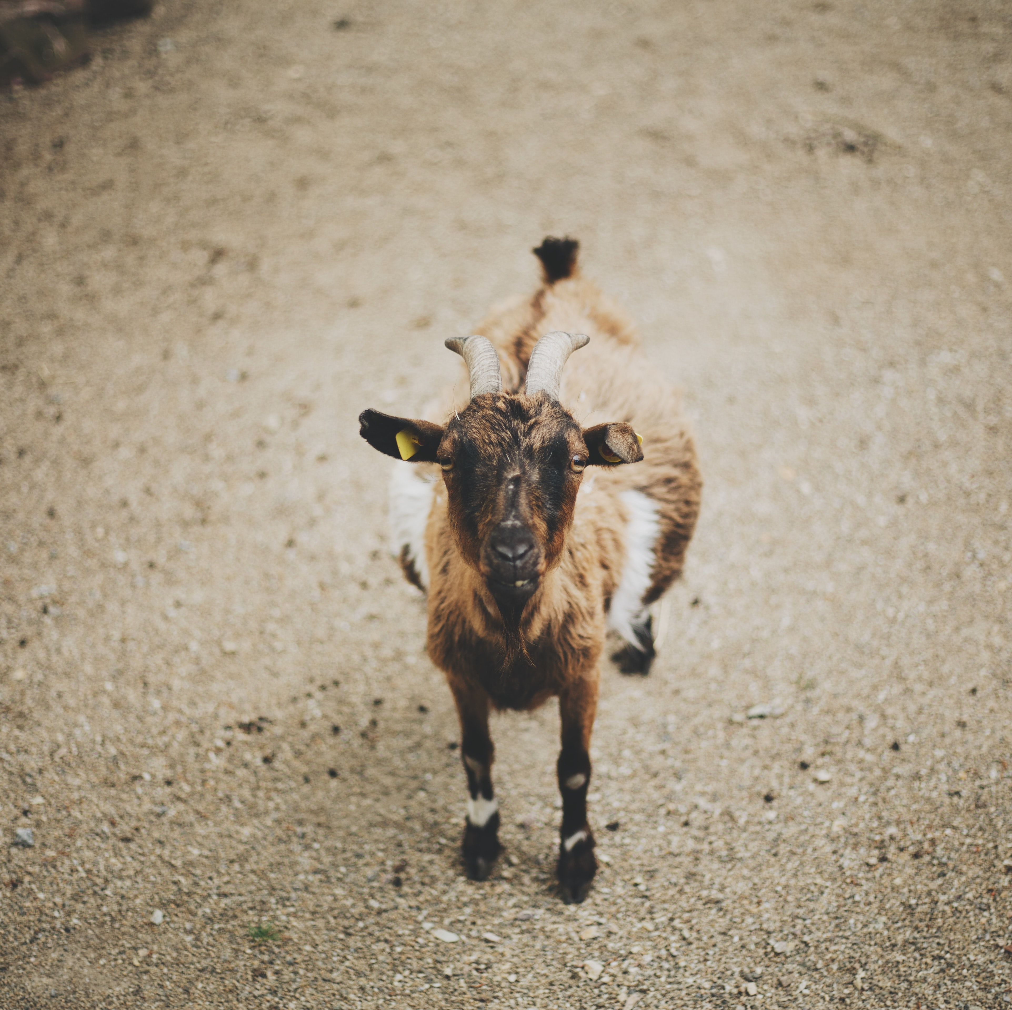 brown and black goat on brown dirt surface