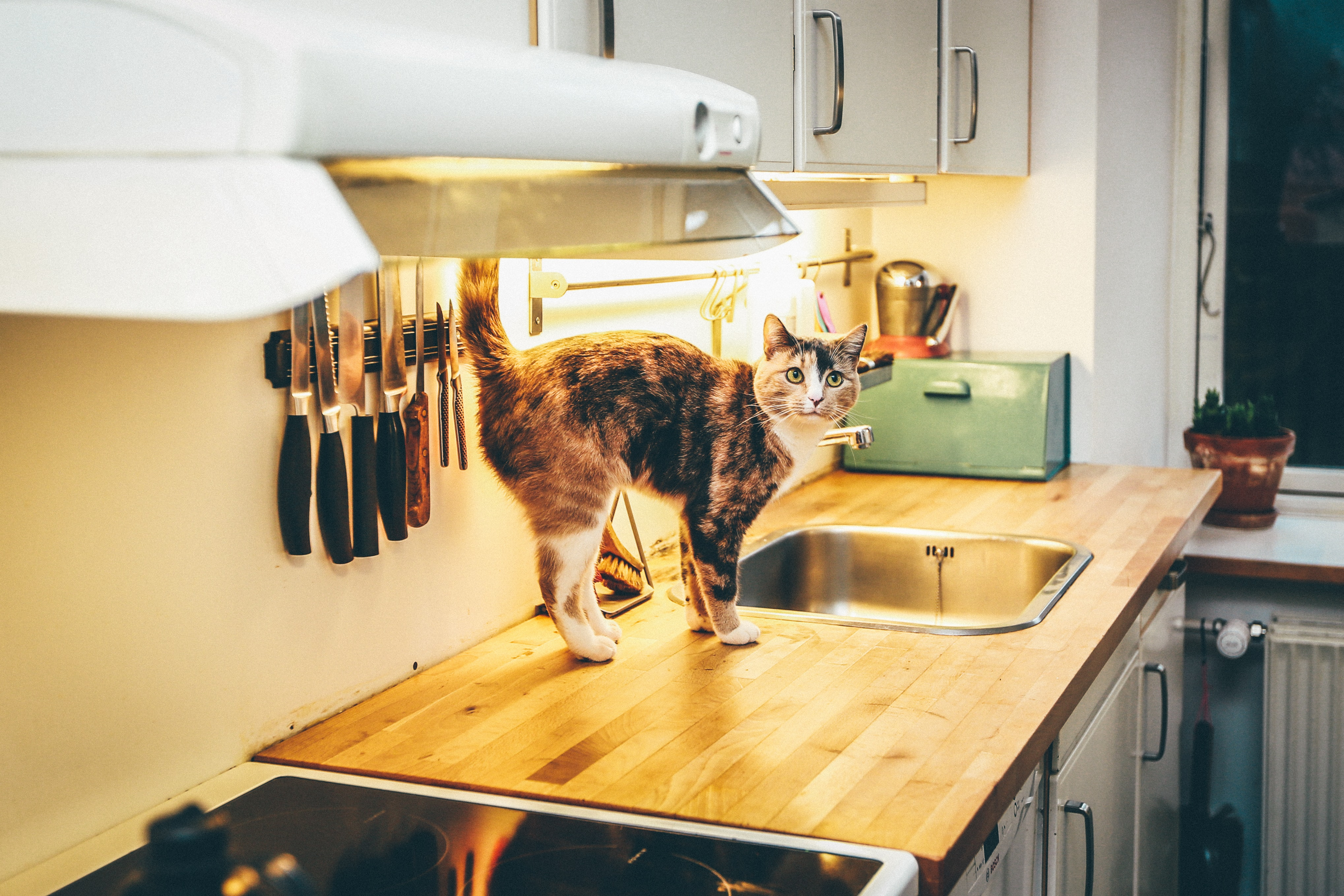 cat on dining