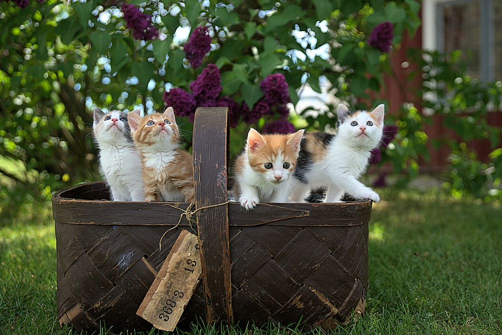 four assorted-color tabby kittens on brown basket