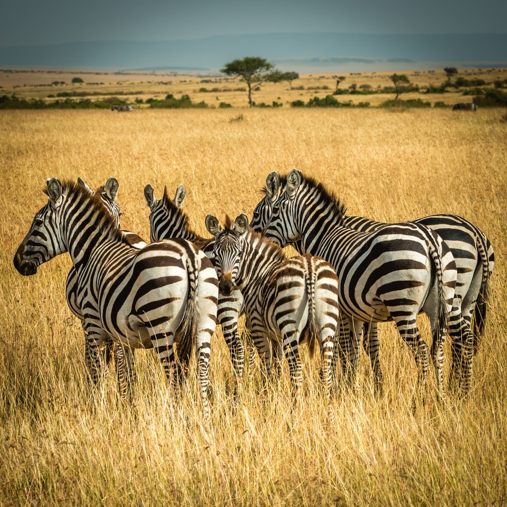 five zebra surrounded by brown grass during daytime