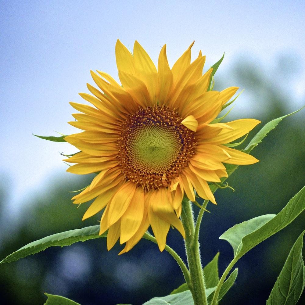 macro shot of yellow sunflower