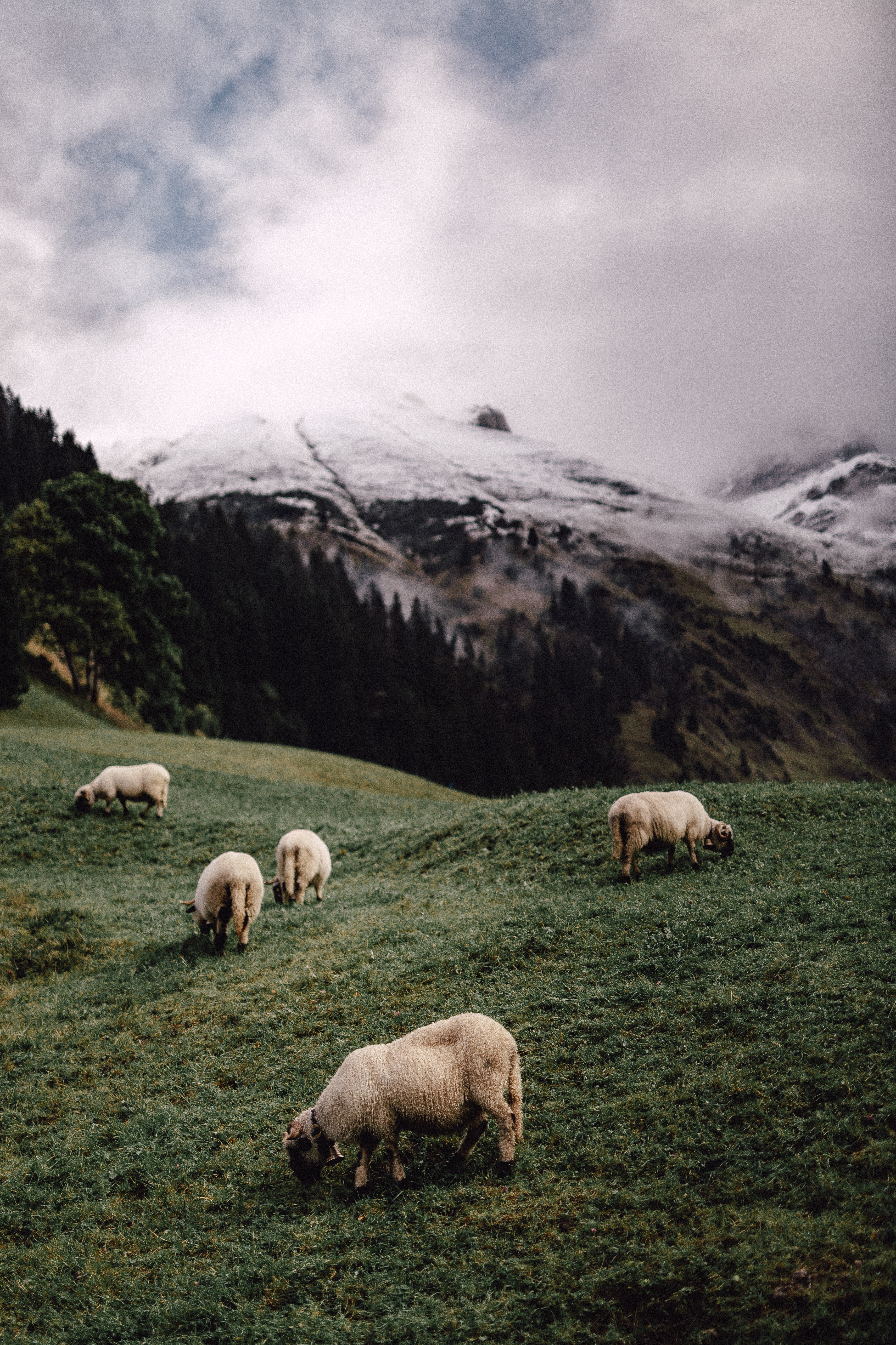 five white sheeps eating grass near mountains during daytime