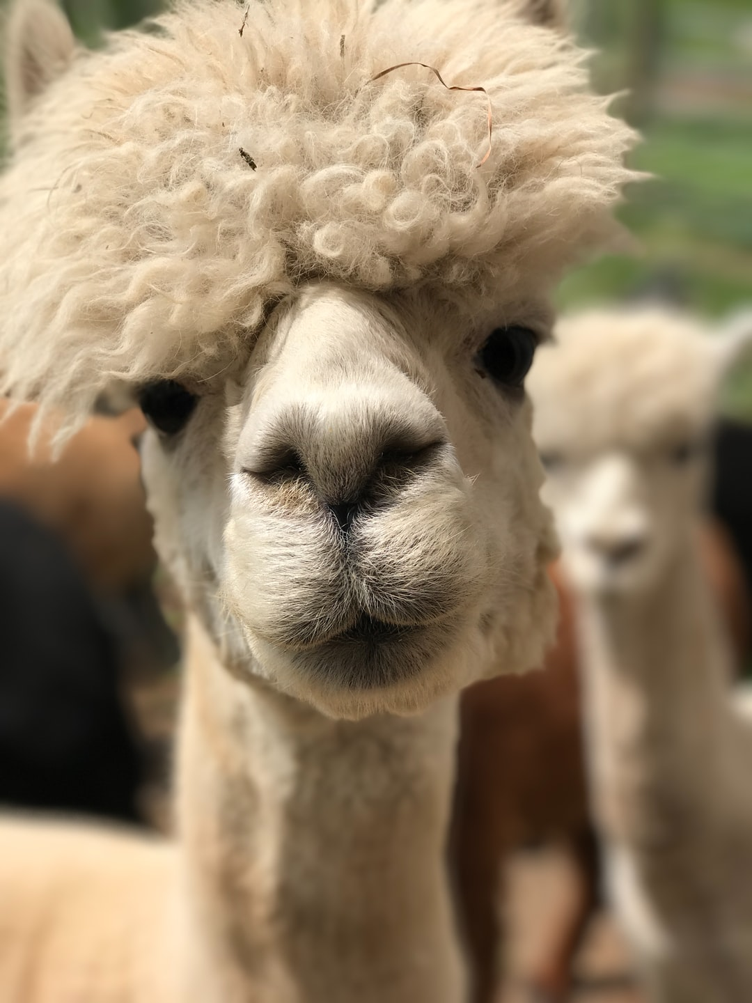 I met this alpaca at a farm in Walton, NY. She was kind enough to pose for a quick pic.
