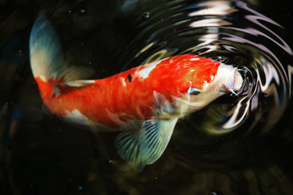 macro photography of koi fish